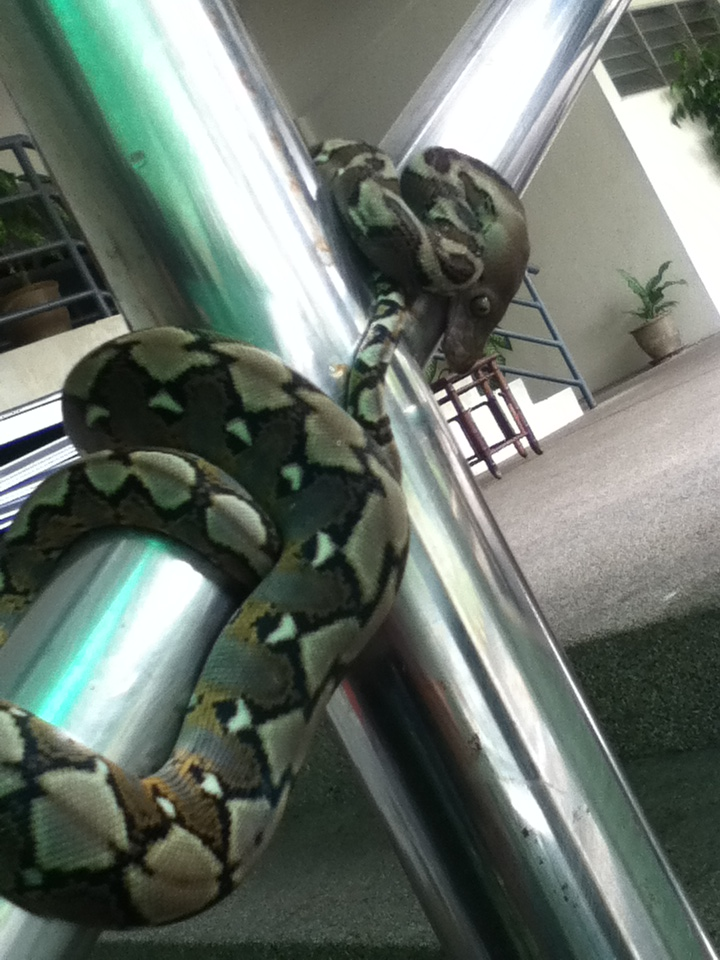 You might find pythons in Bangsar Permai. Take pictures, because no one will believe you.